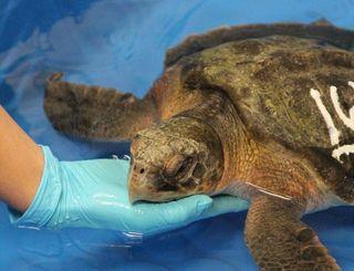 Turtle acu